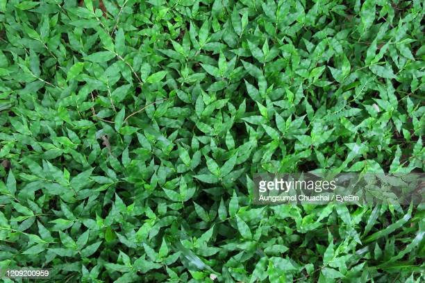 close up green grass in spring and summer for background. - aungsumol stock pictures, royalty-free photos & images