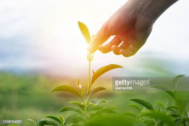 close up hand picking top of the green tea with green tea plantation and cloudy day - 狩りをする ストックフォトと画像