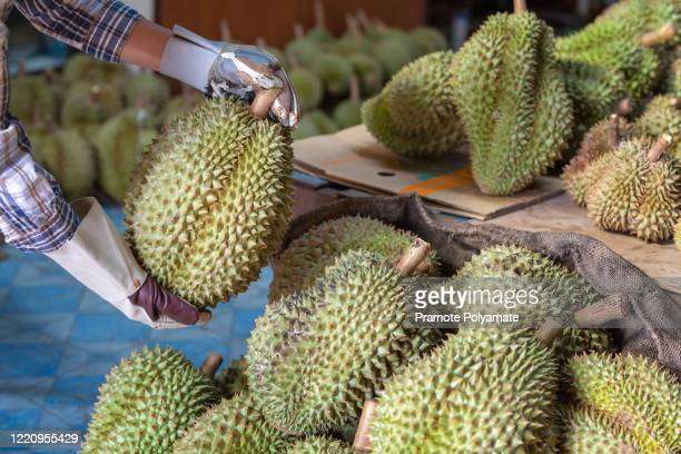close up hands farmer holding durian is a king of fruit in thailand and asia fruit have a spikes shell and sweet. [thailand durian] - 南東 ストックフォトと画像