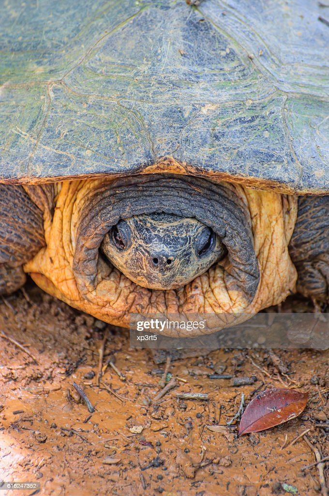 Close up, Head of Softshell Turtle : Stock Photo