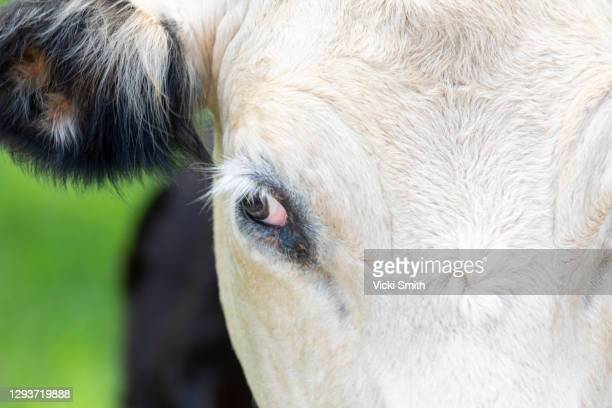 close up head shot of a black and white beef cattle - cow eyes stock pictures, royalty-free photos & images