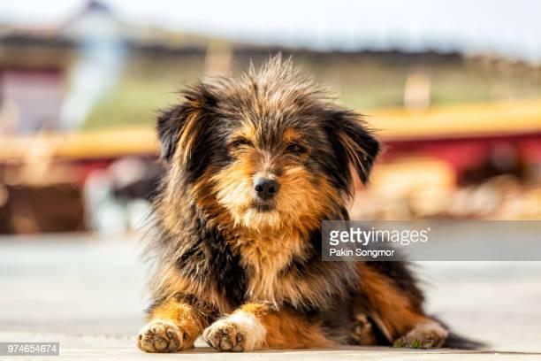 close up himalaya herding dog relaxing at ganzi city - tibetan mastiff stock photos and pictures
