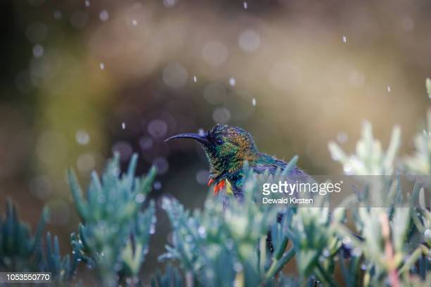 close up image of a double collared sunbird bathing in water drops from a sprinkler - fynbos fotografías e imágenes de stock