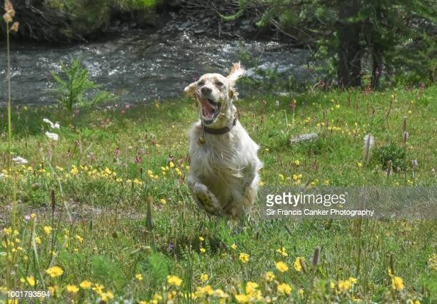 close up image of a purebred female english setter running fast and jumping at full speed with funny face and tongue out - impatience flowers stock pictures, royalty-free photos & images