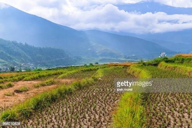close up image of a rice field in punakha, bhutan. - ipek morel stock pictures, royalty-free photos & images