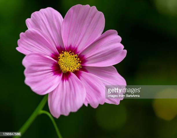 a close up image of a single pink cosmos flower in full bloom, with stem on a dark green background - cosmos flower stock pictures, royalty-free photos & images