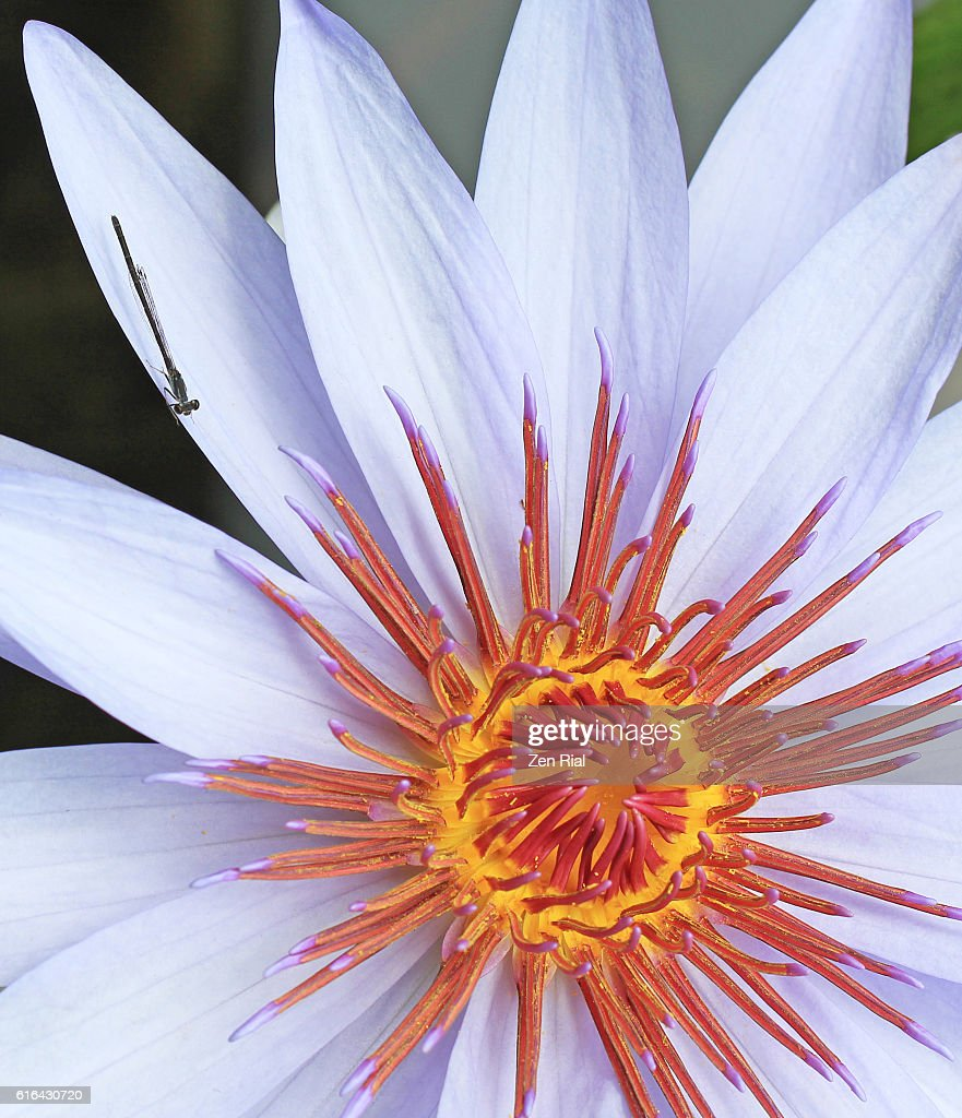 Close up image of a single white water lily flower and a damselfly close up image of a single white water lily flower and a damselfly on its petal izmirmasajfo