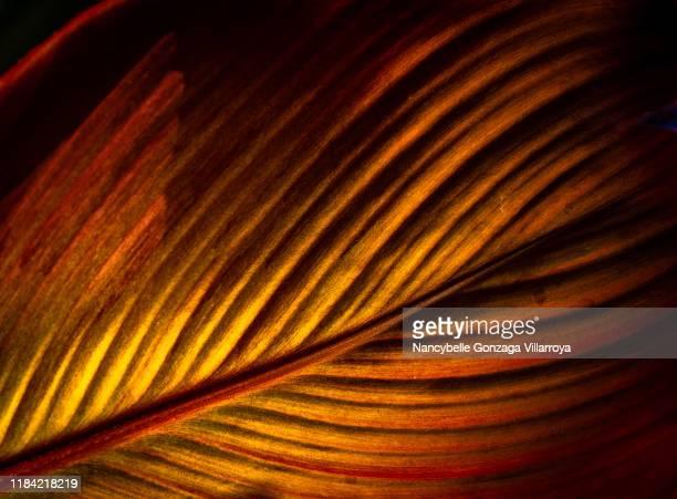a close up image of a vibrant coloured leaf of canna plant - cor saturada - fotografias e filmes do acervo