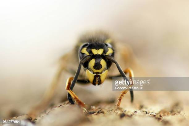 a close up image of a wasp - sting stock pictures, royalty-free photos & images