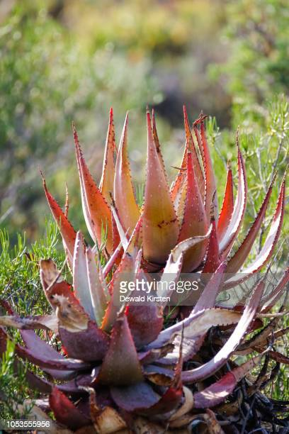 Close up image of an Aloe plant in the Karoo region of south africa