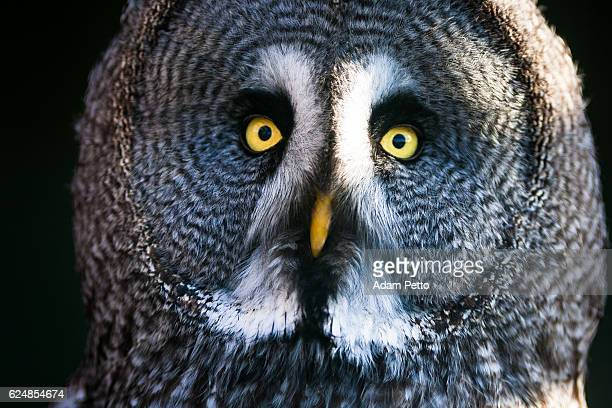 Close up image of the face of a Great Grey Owl