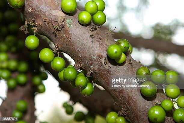 Close up Jabuticaba tree and fruit