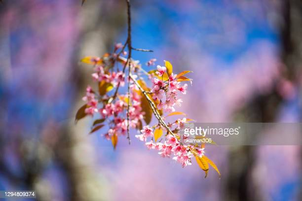 close up japanese sukura (cherry blossom) blooming with copy space and pink background - 桜吹雪 ストックフォトと画像