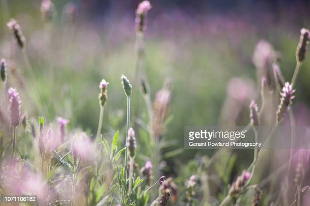Close up Lavender