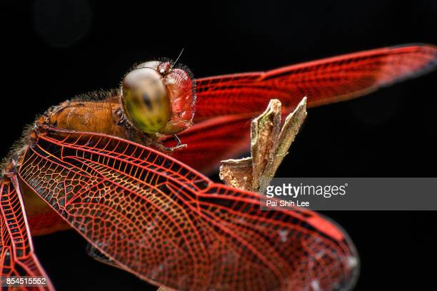 Close up Look at the Eyes of a Red Dragonfly