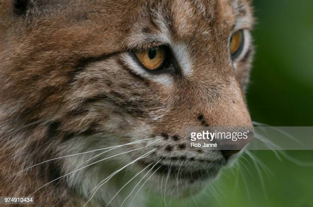 close up lynx youngster - animal whisker stock pictures, royalty-free photos & images