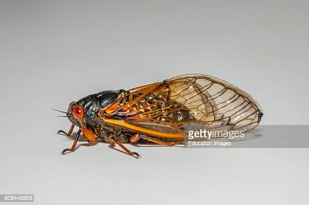 Close up of a 17 year locust or Magi cicada periodical cicadas