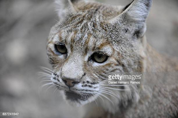 Close up of a baby lynx head with blurry background. Lynx lynx