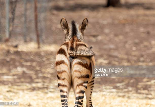 close up of a baby zebras back and tail - big bums stock pictures, royalty-free photos & images