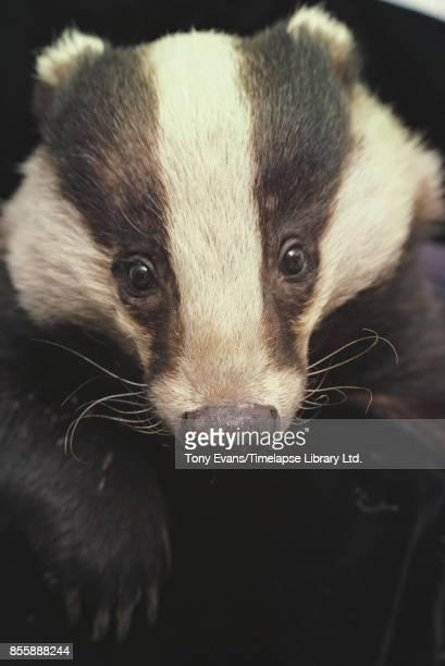 Close up of a badger shortlegged omnivores in the family Mustelidae 1977