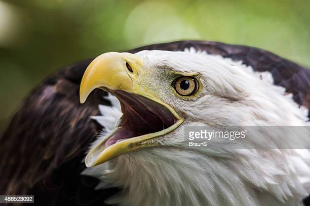 Close up of a bald eagle calling.