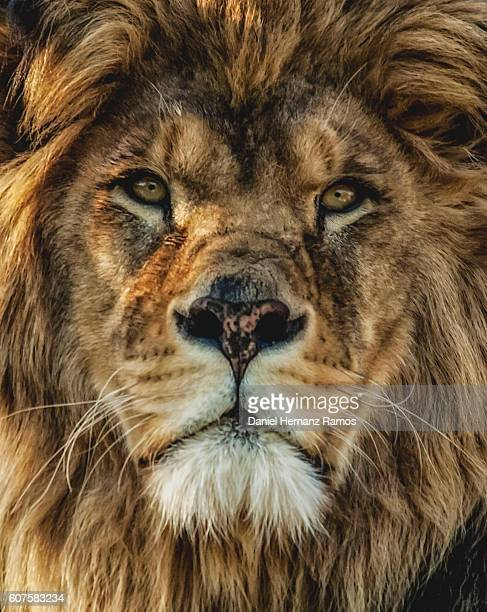 Close up of a Barbary lion portrait looking at camera.