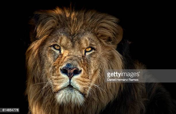 Close up of a Barbary lion portrait looking at camera with black background.