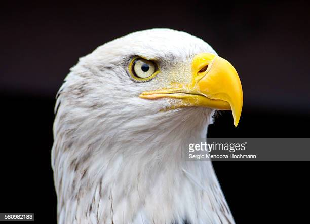 Close up of a beautiful bald eagle