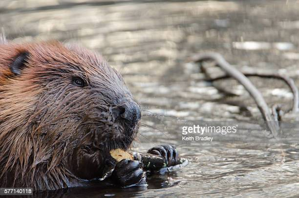 A close up of a beaver eating a branch in the water