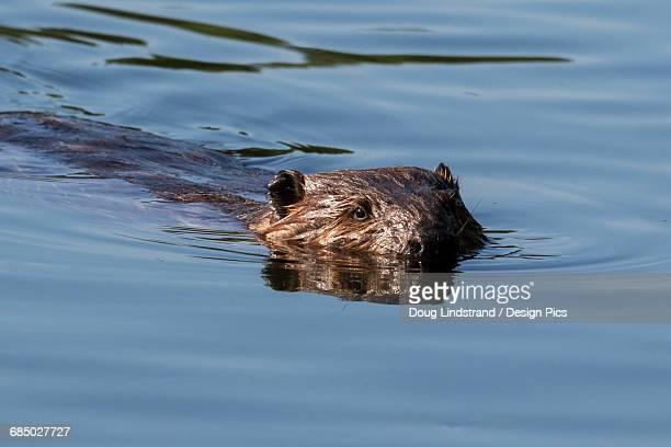 Close up of a beaver swimming at Taku Lake in Anchorage, Southcentral Alaska, spring