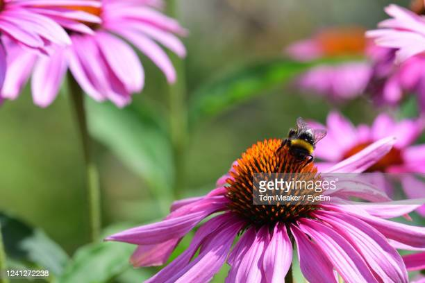 close up of a bee pollinating a pink echinacea flower - taunton somerset stock pictures, royalty-free photos & images