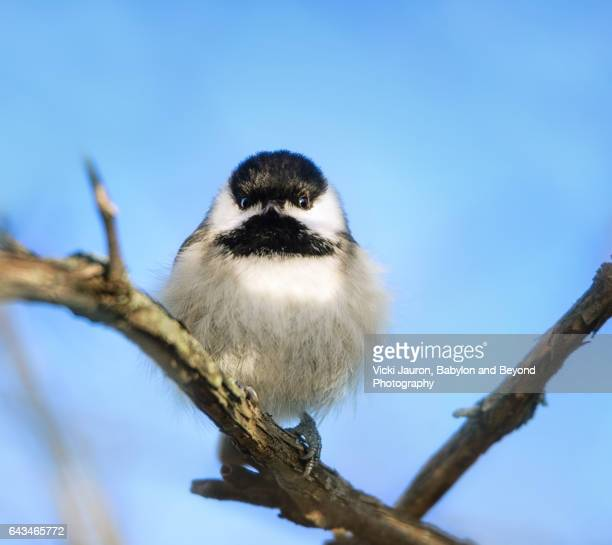 Close Up of a Black Capped Chickadee Against Blue