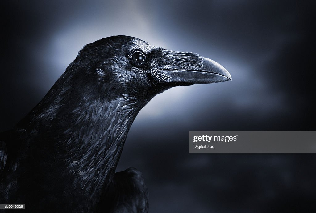 Close up of a Black Crow : Stock Photo