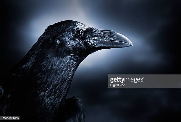 close up of a black crow - crow stock pictures, royalty-free photos & images