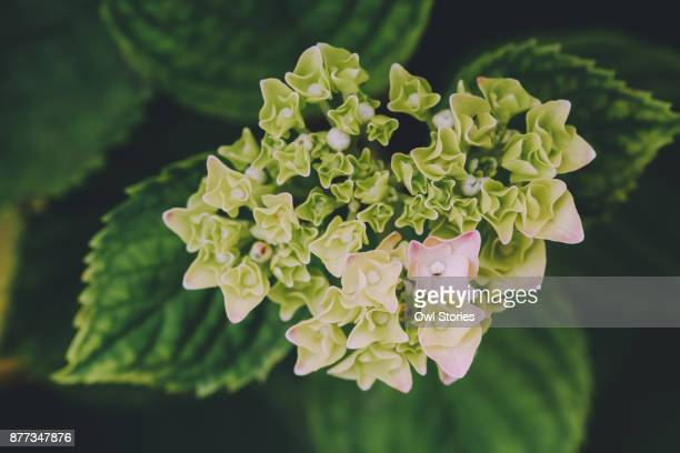 Close up of a blooming hydrangea