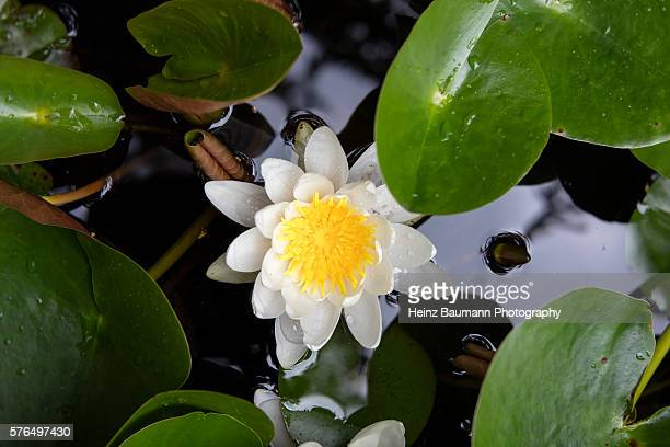 close up of a blooming water lily (nymphaea alba) in a pond - heinz baumann photography stock-fotos und bilder