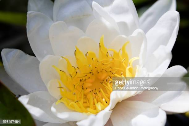 Close up of a blooming water lily (Nymphaea alba) in a pond