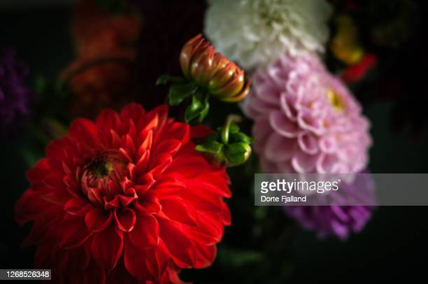 close up of a bouquet of dahlias in various colors - dorte fjalland fotografías e imágenes de stock