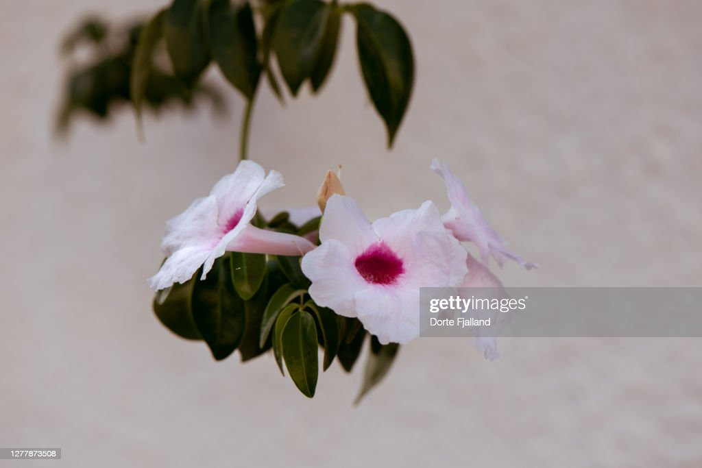 Close up of a branch of bower vine against a white wall : Foto de stock