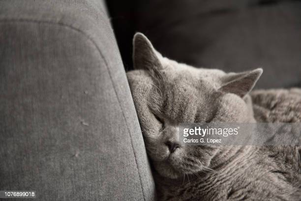 close up of a british short hair cat resting head on sofa whike sleeping - british shorthair cat stock pictures, royalty-free photos & images