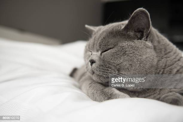 Close up of a British Short Hair cat sleeping on a white bed