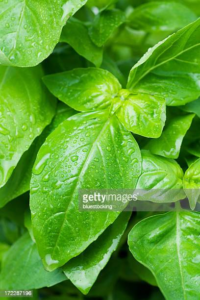 A close up of a bunch of basil leaves