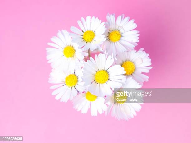 close up of a bunch of daisies from above, spring is blossoming - デイジー ストックフォトと画像