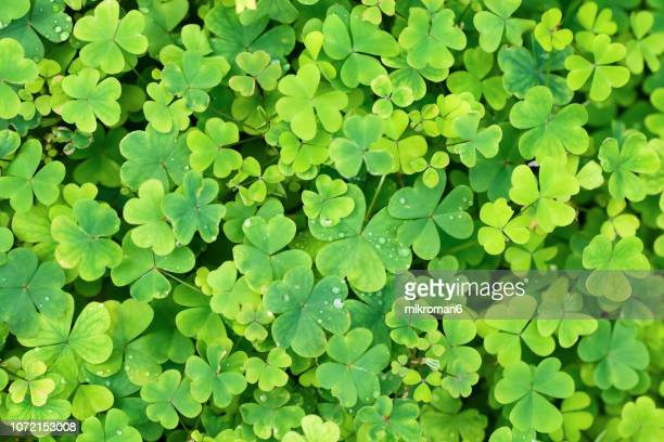 close up of a bunch of green clover. clover background - st patricks background stock pictures, royalty-free photos & images