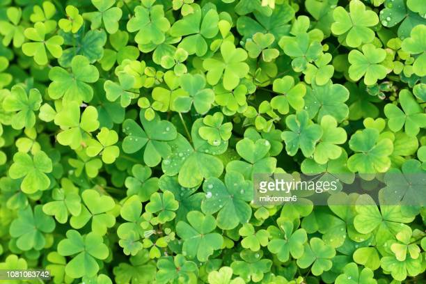 close up of a bunch of green clover. clover background - st patricks day stock pictures, royalty-free photos & images