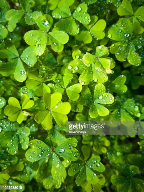 close up of a bunch of green clover. clover background - lush stock pictures, royalty-free photos & images