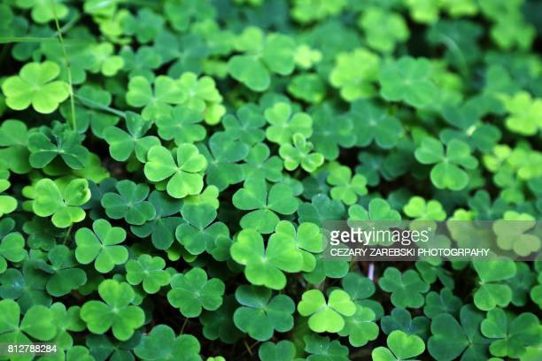 close up of a bunch of green clover - st patricks day stock pictures, royalty-free photos & images