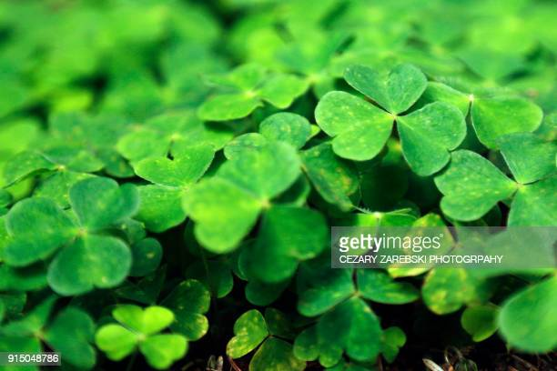 close up of a bunch of green clover - saint patrick stock pictures, royalty-free photos & images