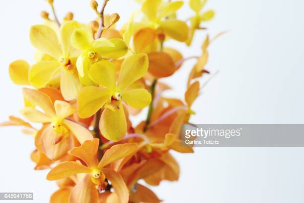 Close up of a bunch of yellow and orange orchids on a white background