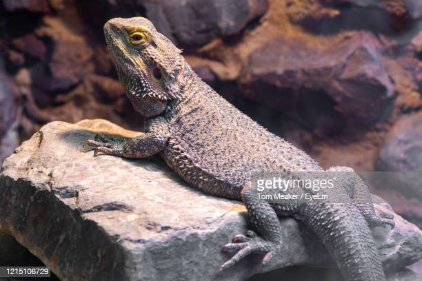 close up of a central bearded dragon in captivity - bearded dragon stock pictures, royalty-free photos & images